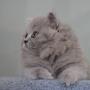 kotka brytyjska długowłosa WIRGINIA - mam 8 tygodni