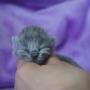 kotka brytyjska długowłosa WIRGINIA - mam 1 dzień