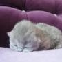 kotka brytyjska długowłosa WIRGINIA
