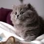 kotka brytyjska długowłosa WIRGINIA - mam 7 tygodni
