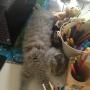 kotka brytyjska długowłosa WIRGINIA- pierwsze chwile w nowym domku