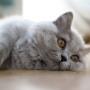 kotka brytyjska długowłosa WIRGINIA- w nowym domu- mam 4 m-ce