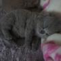 kot brytyjski niebieski- XANDER