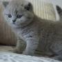 kot brytyjski niebieski- XANDER 6 tygodni