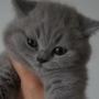 kot brytyjski niebieski- XANDER 10 tygodni