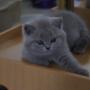 kot brytyjski niebieski- XANDER 9 tygodni