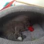 kot brytyjski niebieski- XANDER  w nowym domu  09 2014