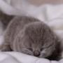 kot brytyjski niebieski- mam 7 dni - foto: diamond-studio.pl