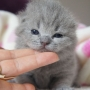 koty brytyjskie- Xaviere kot brytyjski niebieski- mam  14 dni