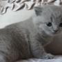koty brytyjskie- Xaviere- mam 4 tygodnie