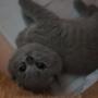 koty brytyjskie- Xaviere- mam 6 tygodni