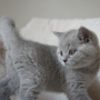 koty brytyjskie- Xaviere-