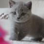 koty brytyjskie- Xaviere