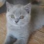 koty brytyjskie- Xaviere- mam 10 tygodni