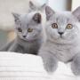 koty brytyjskie- Xaviere- mam 12 tygodni
