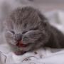 koty brytyjskie- Xaviere kot brytyjski niebieski- mam 7 dni